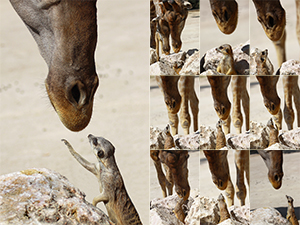 Giraffe and Meerkat - A Stolen Kiss on Wildlife Photo and Animal Pictures