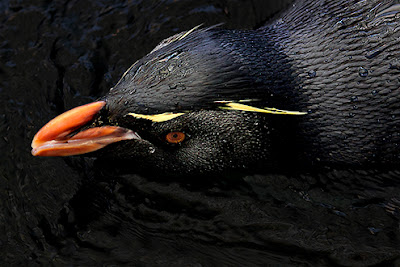 Western Rockhopper Penguin - wildlife photo | Animal Picture -1967