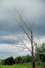 Fué árbol