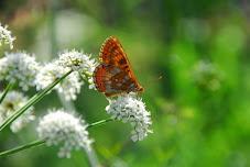 Flor de mariposa.