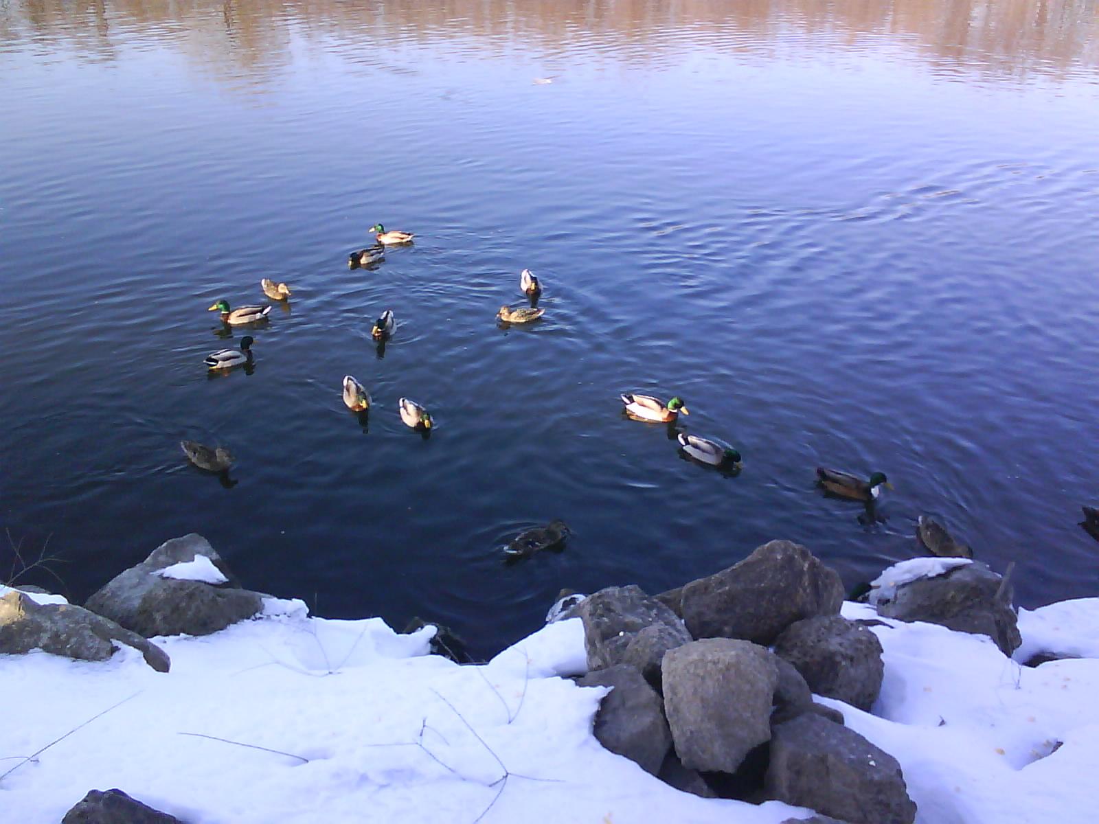 [duckies5]
