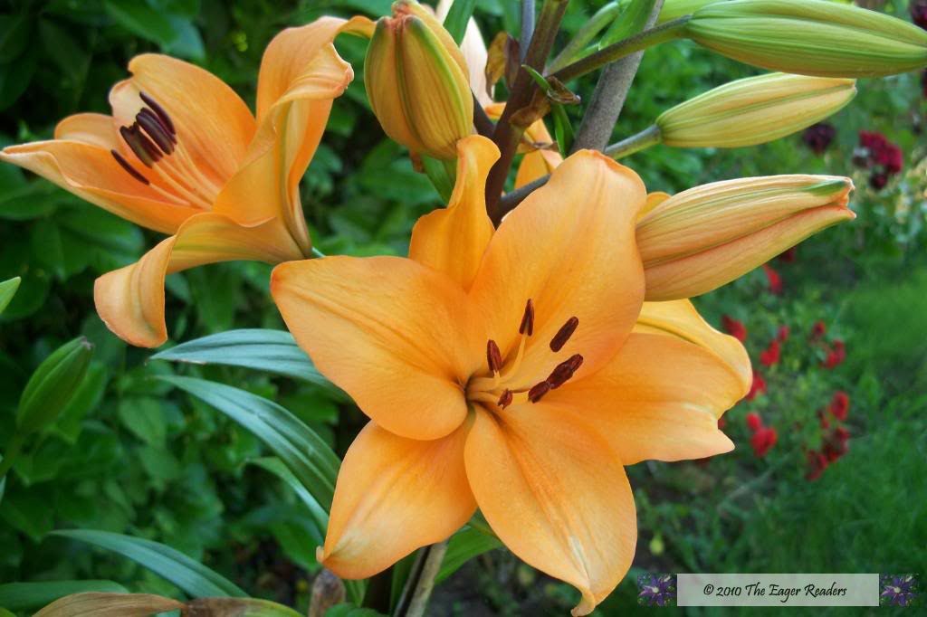 the eager readers flower friday  asiatic lily, Beautiful flower