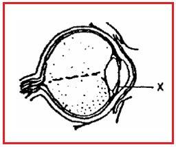 memberi nutrisi kepada lensa mata