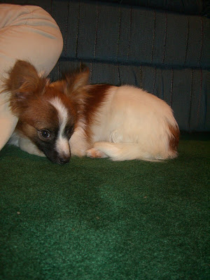 Diego curled up on the dark green carpet. His head is tucked into his body. His body is mostly white with brown splotches