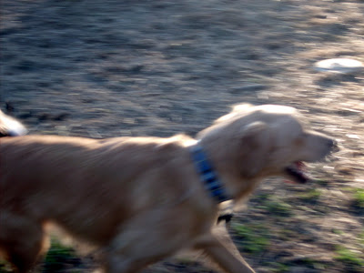 Eclipse running towards the right of the camera at the dog park. His blue plaid collar is very visible. It's starting to get dark so the sun is casting fun shadows over his body