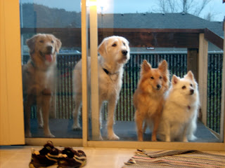 Eva, Charlie, Teddy and Kira outside the sliding glass door looking in. Eva and Teddy are dark red in color, Kira and Charlie are very light. Their colors alternate in this photo
