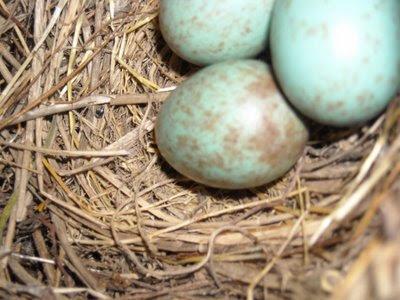 los huevos de mirlo