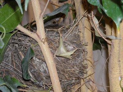 la mirla en su nido