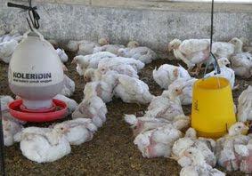 Budidaya Ayam broiler