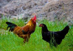 Beternak Ayam Kampung