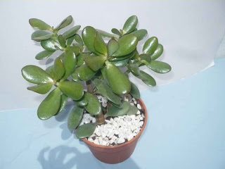 Planta de la plata crassula argentea for Planta del dinero feng shui