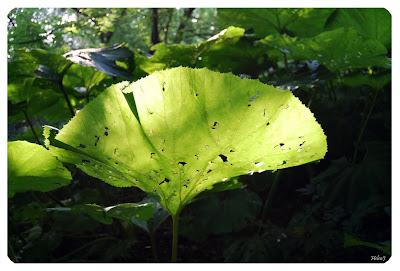 Pestskråp - Petasites hybridus