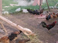 Ternakan ayam kampung