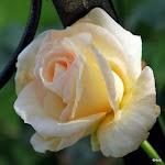 Frøken rose 2010