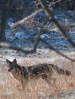 Coyote in our field. Photo by Bruce Spencer