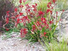 Kangaroo Paw