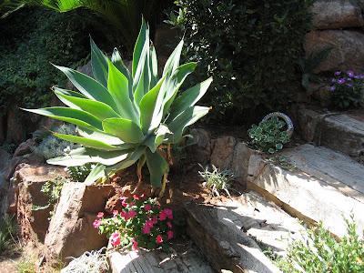 Agave attenuata en mi jard n guia de jardin aprende a for Como cuidar el pasto de mi jardin