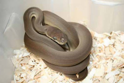 Snakes and More Snakes: Photo of Olive Python, Liasis o
