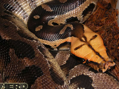 Snakes and More Snakes: Photo of Sumatran Short-Tailed
