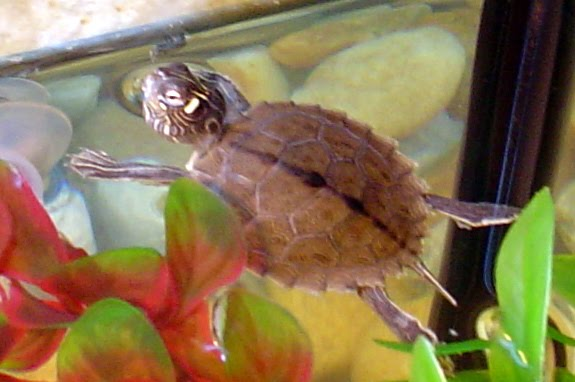 Ouachita map turtle Graptemys ouachitensis, Video and Photo