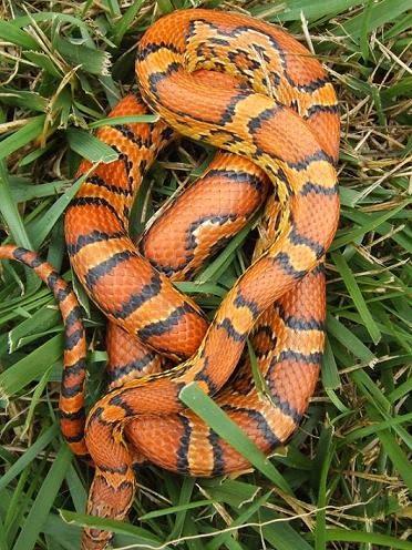 Okatee Corn Snake