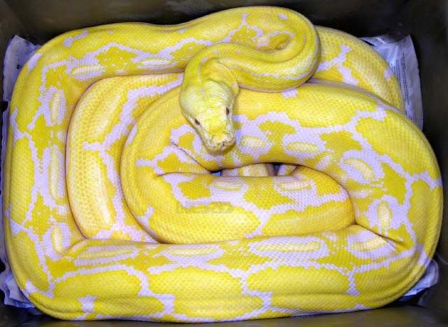 Snakes In The World Python Reticulatus Snake