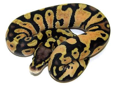 Pastel Ball Python Mandarin pastel ball python,