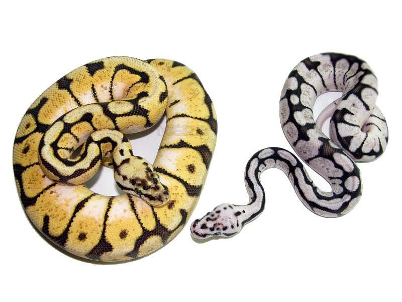 Axanthic clown ball python