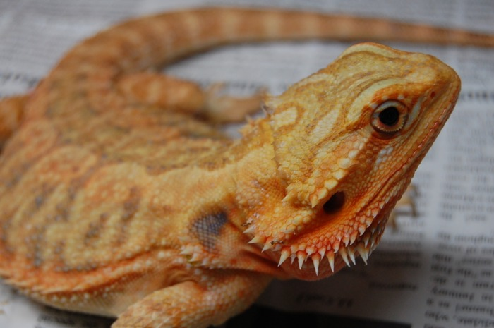 Orange Bearded Dragons