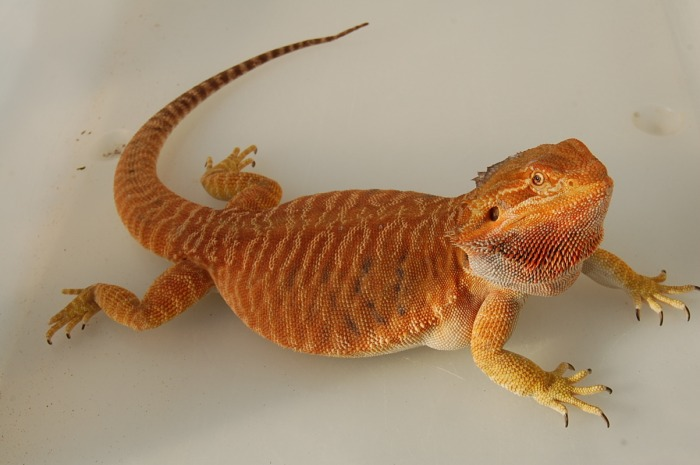 Orange Leatherback Bearded Dragon