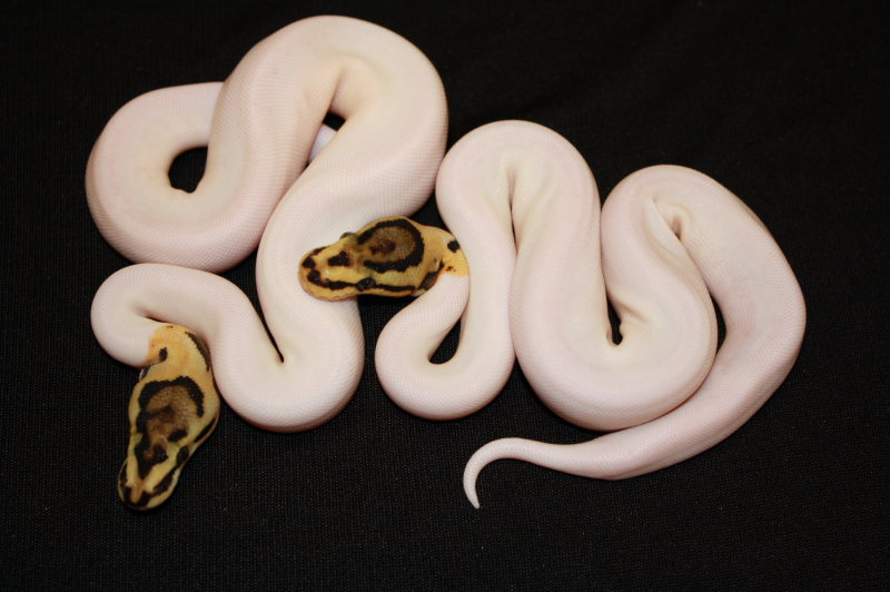 http://3.bp.blogspot.com/_4VXrkZe4WmU/TRj4Wca67MI/AAAAAAAALWw/SK75ZSVbyLk/s1600/spider+piebald+ball+pythons.JPG
