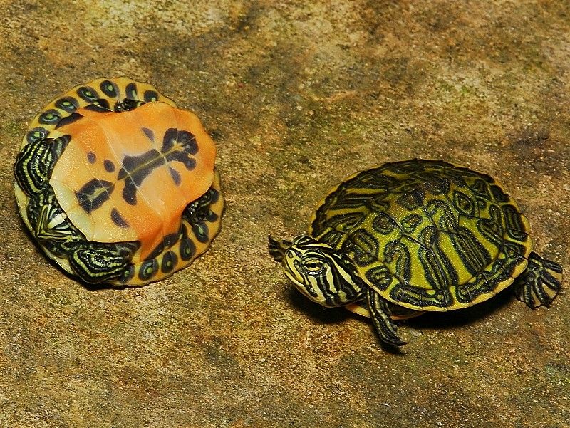 Trachemys scripta mauvais état Florida+Red+Bellied+Turtles%252C+Pseudemys+Nelsoni+2