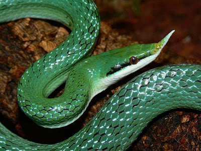 serpent fond blanc