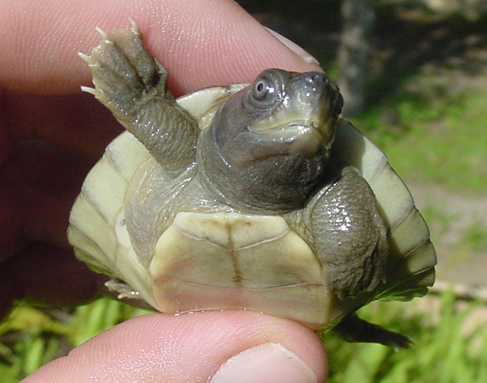 Terrapin Turtle Care Painted Terrapin Turtle