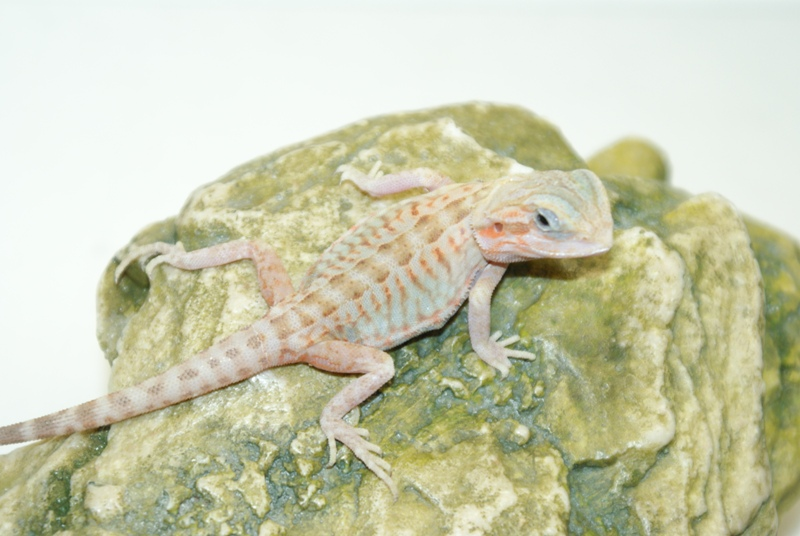White Leatherback Bearded Dragon