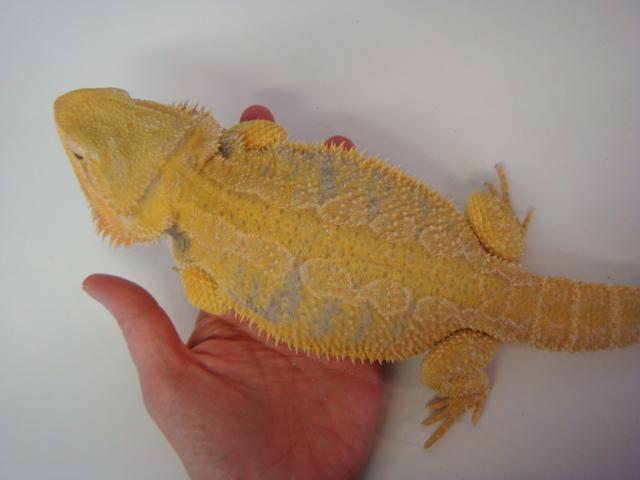 Tangerine bearded dragon