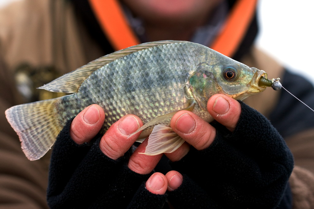 Tilapia fish in water for What type of fish is tilapia