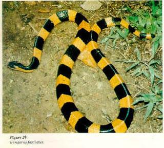 gambar ular - gambar ular berbisa