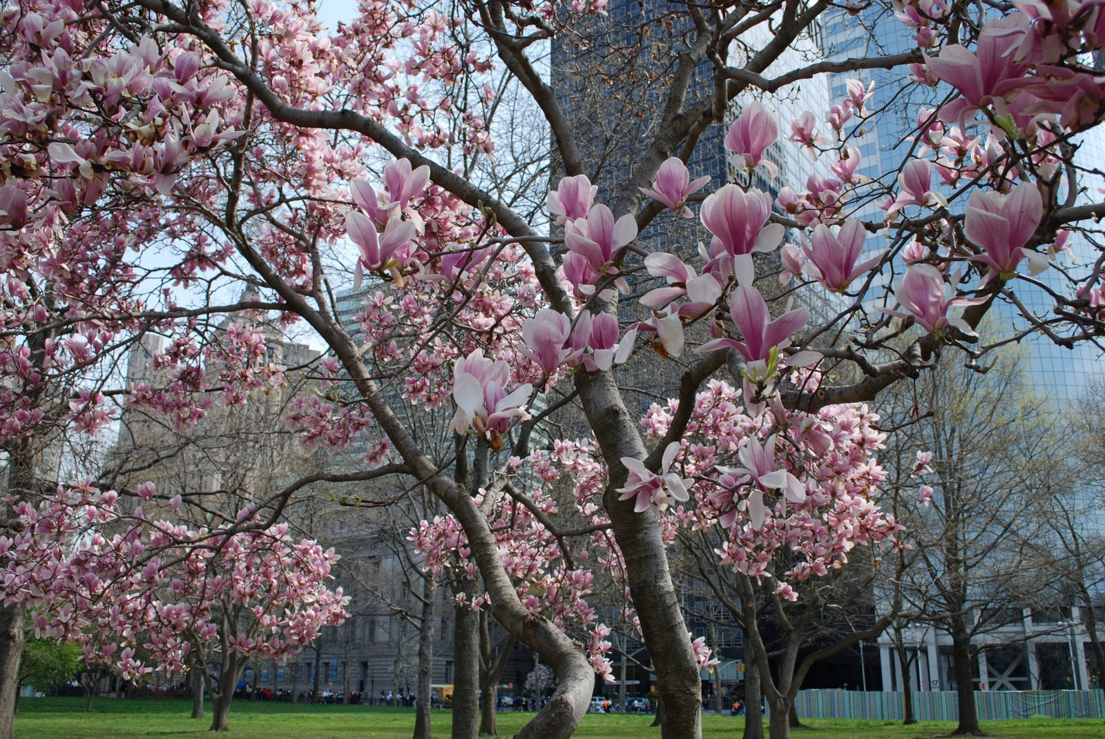 magnolia blossoms, battery park, manhattan