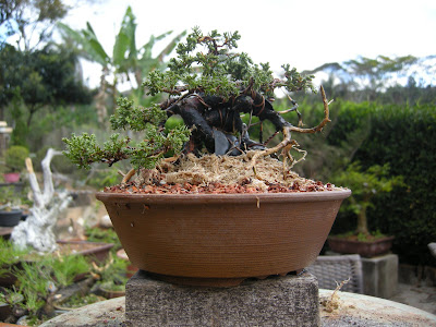 Bonsai argento custo maleficio costo maleficio for Bonsai costo