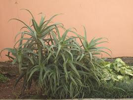 BABOSA-A PLANTA QUE CURA