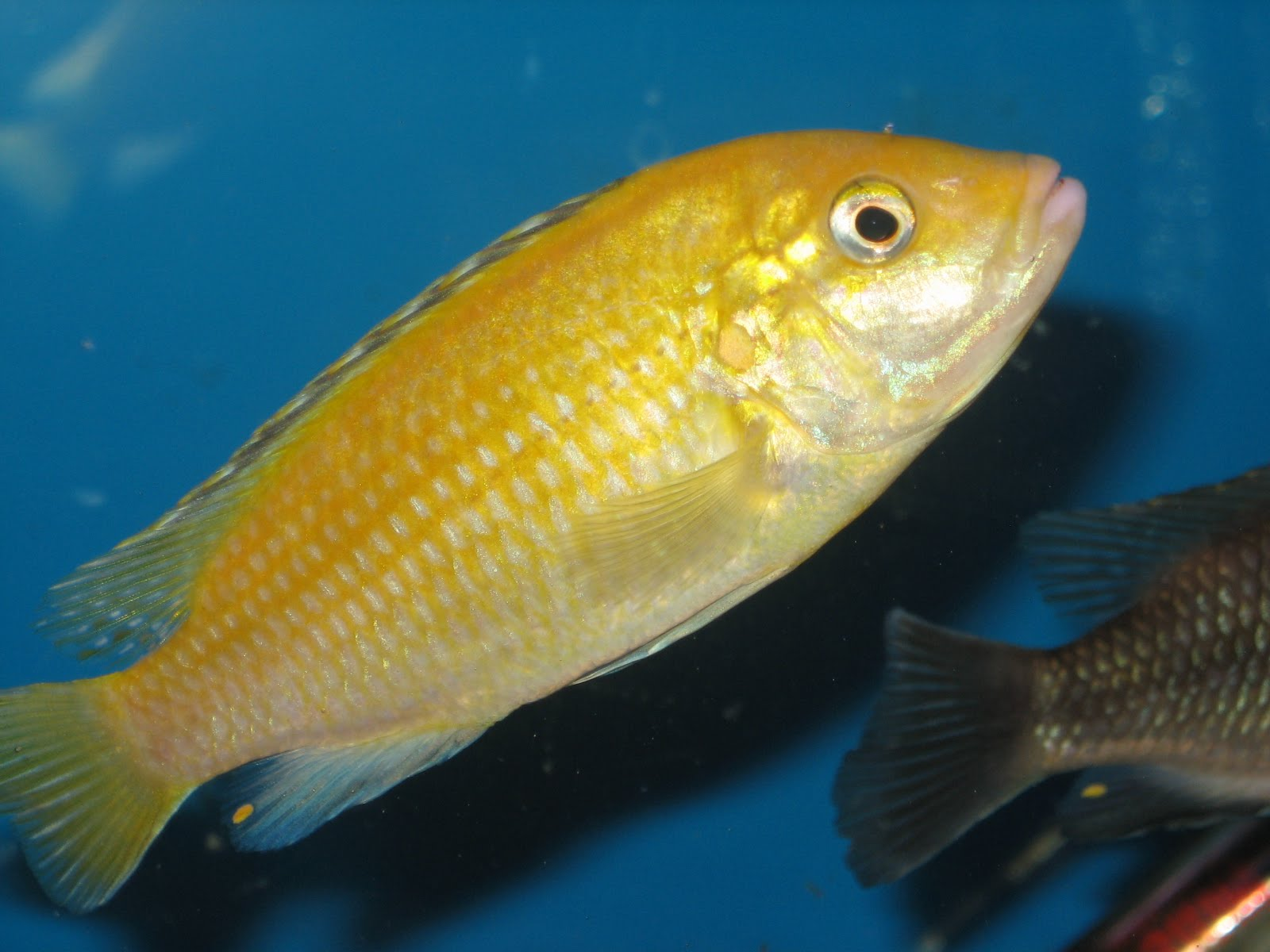 Introduction to breeding malawi cichlids fish faqs for Scientific name of fish
