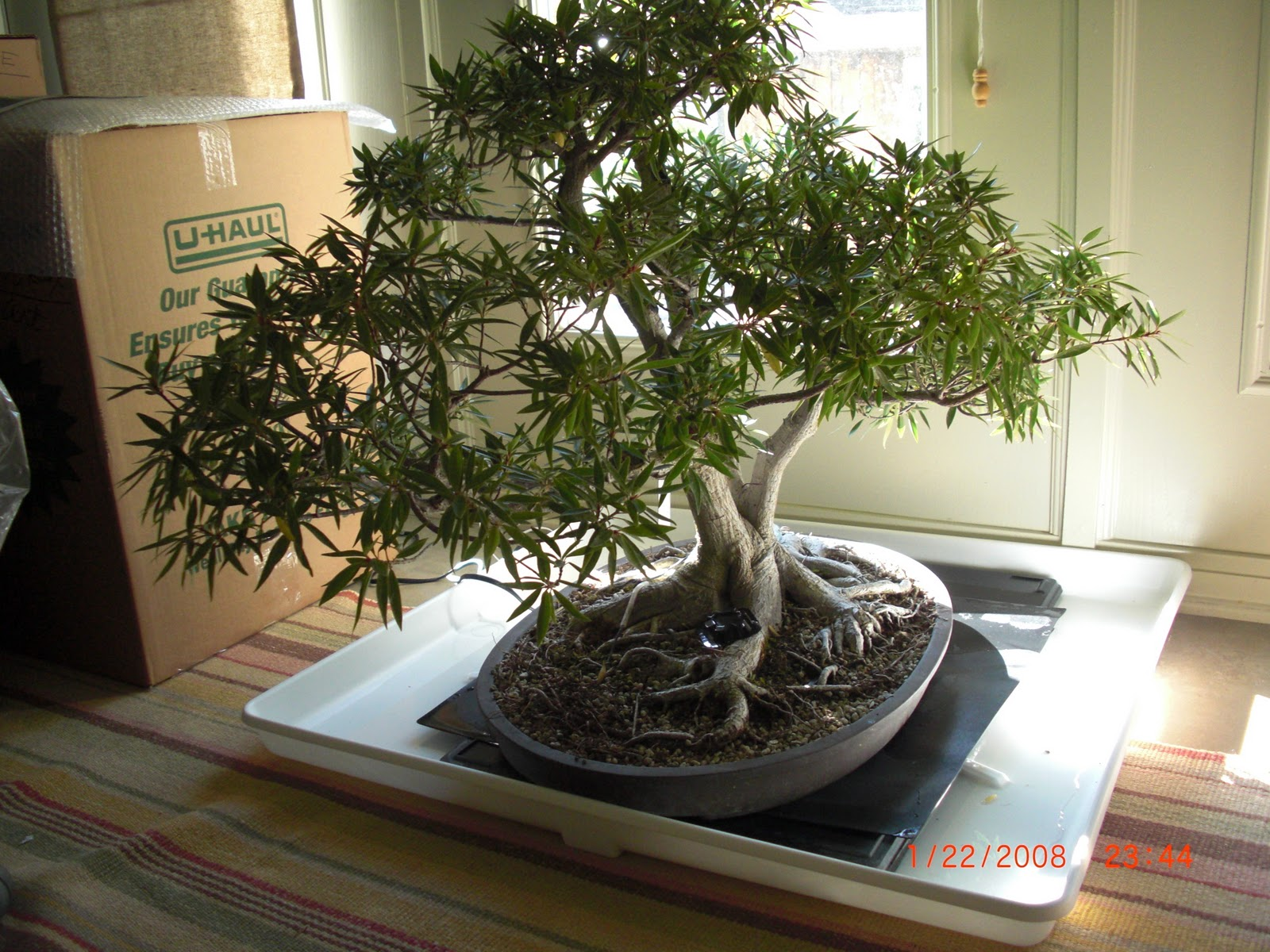 Smith Gilbert Bonsai Group Tropical Overwintering An Experiment