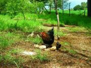 Gallinas en el campo