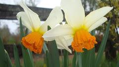 Narzisos de Primavera