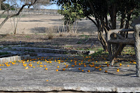 This is a picture of tiny oranges all over the ground next to a wooden bench