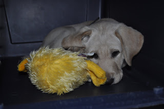 This is him in his crate - the door is open, he had dragged his new stuffed duck toy into the crate with him, here he is laying down has one paw on top of Mr. Duck and is looking all depressed and lonely lol.
