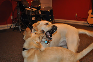 Bob and Egypt trying to bite each other in the face, Egypt is facing the camera and you can see all her teeth, Bob is facing away but you can tell he's got her. Darrell's drum set is in the background.