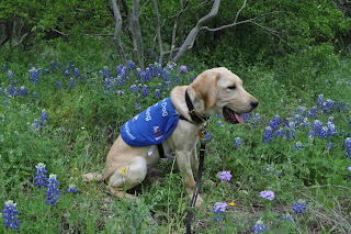 Bob sitting in some new bluebonnets, there is a tree behind him and he's looking off to his front, which is away from the camera because I had him sitting sideways.