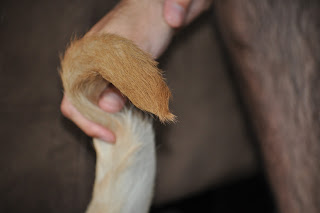 A hand holding up the end of Bob's tail, you can see a swirl pattern with the hair on the very tip, there is also a hairy leg in the immediate background